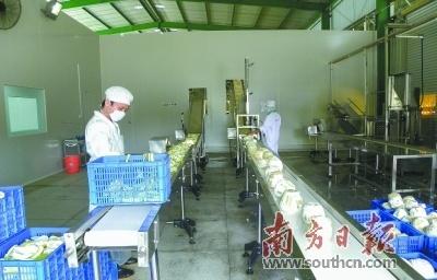 金柚食品加工生产线。何森垚 摄