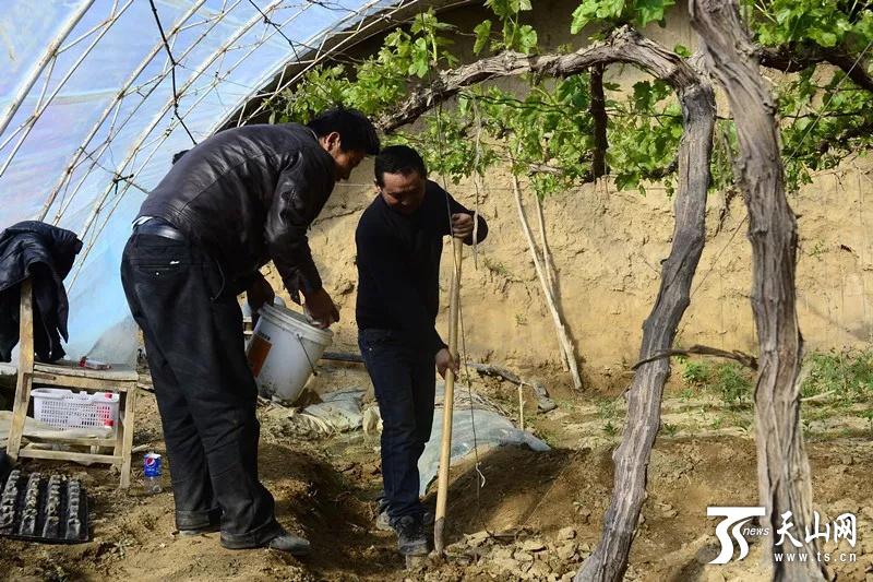 鄯善县辟展乡卡格托尔村村民在葡萄大棚里忙碌。