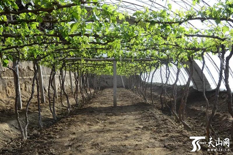 鄯善县辟展乡卡格托尔村的葡萄大棚里春意盎然。