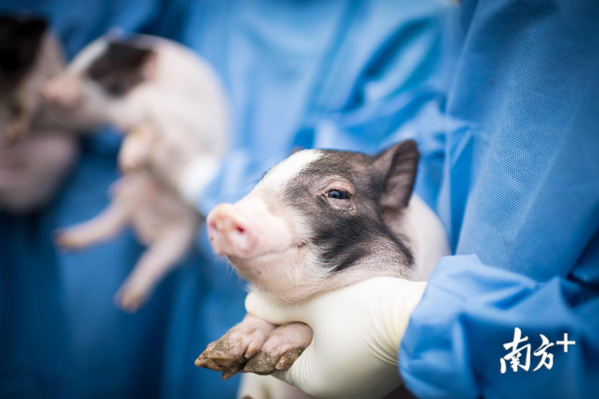 """""""亨廷顿舞蹈病""""基因敲入猪。"""