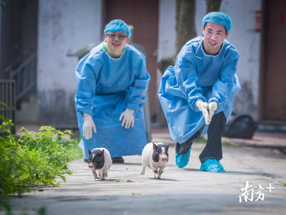 """科研人员可利用""""亨廷顿舞蹈病""""基因敲入猪进行实验。"""