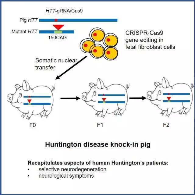 利用基因编辑技术(CRISPR/Cas9)等技术 培育出世界首例亨廷顿舞蹈病基因敲入猪