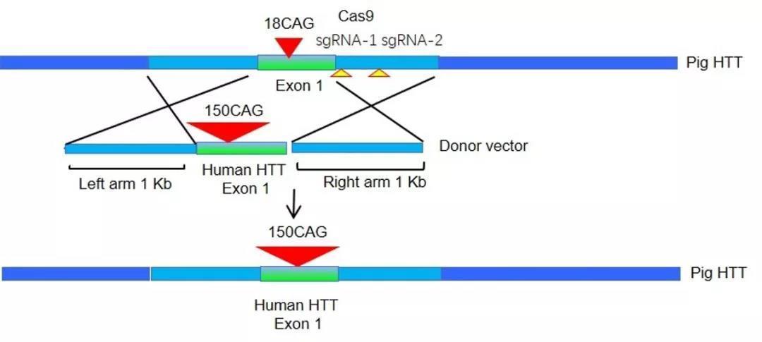 将人的HTT突变基因插入猪的HTT基因中
