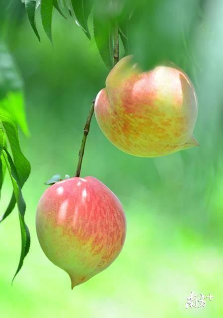 连州富硒鹰嘴桃。