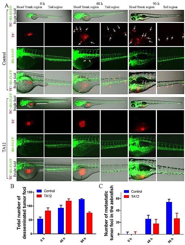 丹参酮-咪唑衍生物TA12抑制乳腺癌MDA-MB-231细胞在斑马鱼移植瘤模型中的增殖与远端转移。受访者供图