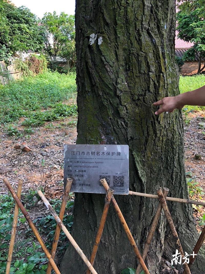 太坪村为每一棵古树都制作了铭牌。 董有逸 摄