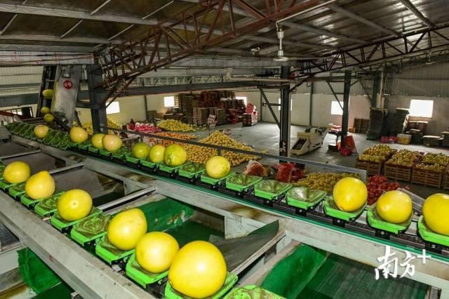 每套自动分选运输设备日均可处理50吨柚果。