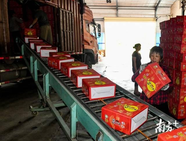 村民们将包装好的蜜柚装上大货车,准备运往珠三角。