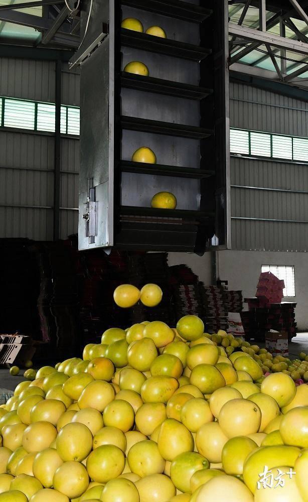 自动分选运输设备正源源不断地将不同重量的柚果分送至不同区域。
