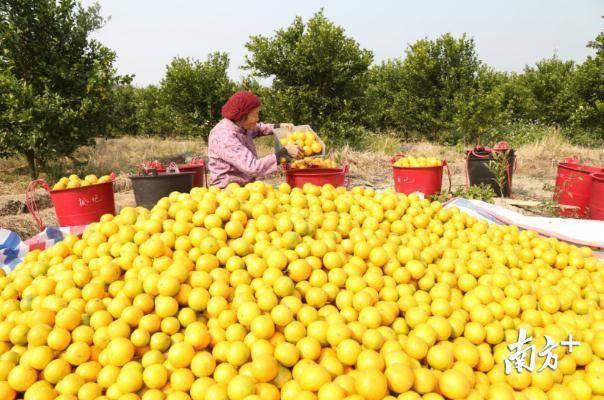 丹霞贡柑丰收,村民乐呵呵。