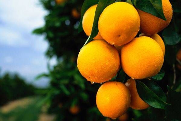 澄迈福橙今年迎来大丰收,预计总产量超过900万斤。