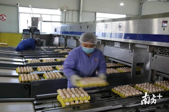 从化三天鲜畜牧养殖场复工,日产鸡蛋50万只,供应广州市场。南方+记者 符超军 朱伟良 周甫奇 摄影报道