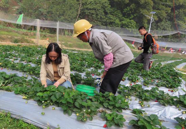 张林教授团队专门为三个扶贫村送去了自己选育的糯小麦和草莓新品种。