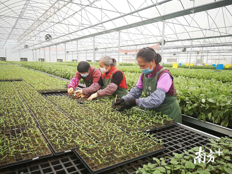 广东省良种引进服务有限公司三水农场每年销售超2000万株种苗,农场育苗工作早已步入正轨,为做好春耕工作打下了良好的基础。魏英 摄