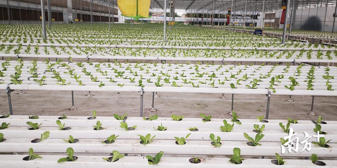 康喜莱合作社的蔬菜种植温室大棚。