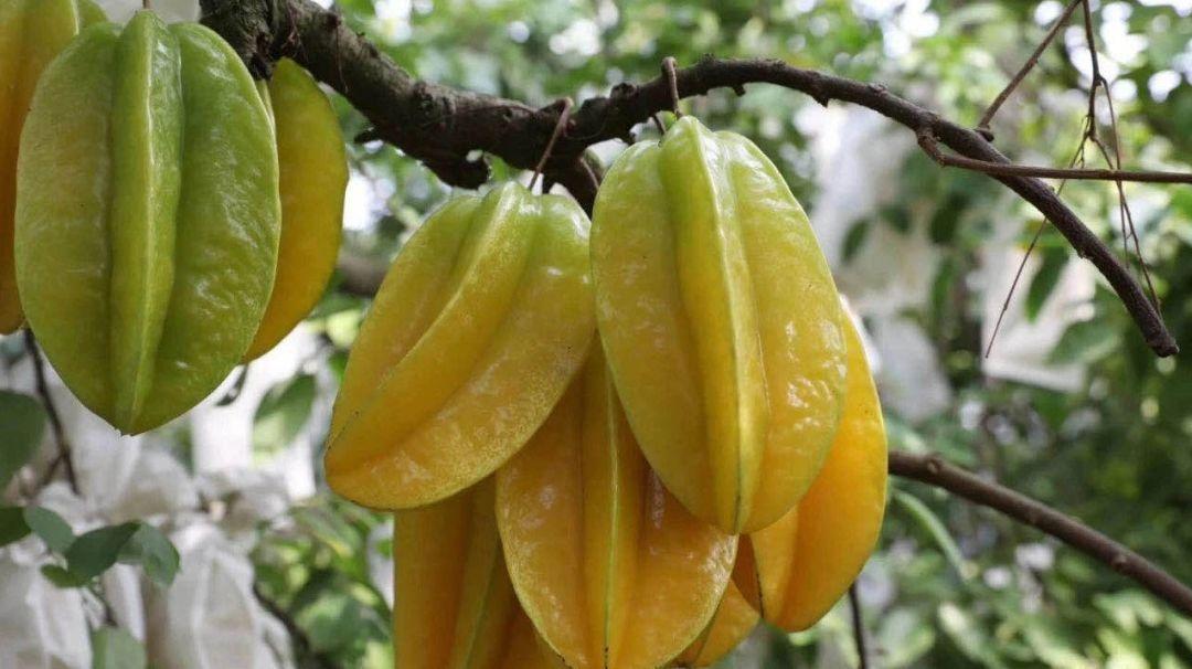 这段时间,红杨桃开始进入采收季节。