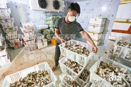 3月23日,东源县船塘镇凹头村袖珍菇种植基地冷藏库内的工人在摆放经过挑拣装箱的袖珍菇,准备做好保鲜后外运。 冯晓铭 摄