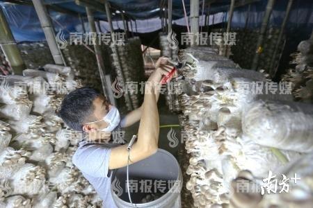 3月23日,东源县船塘凹头村袖珍菇种植基地的工人正在大棚内采摘鲜嫩的袖珍菇。 冯晓铭 摄