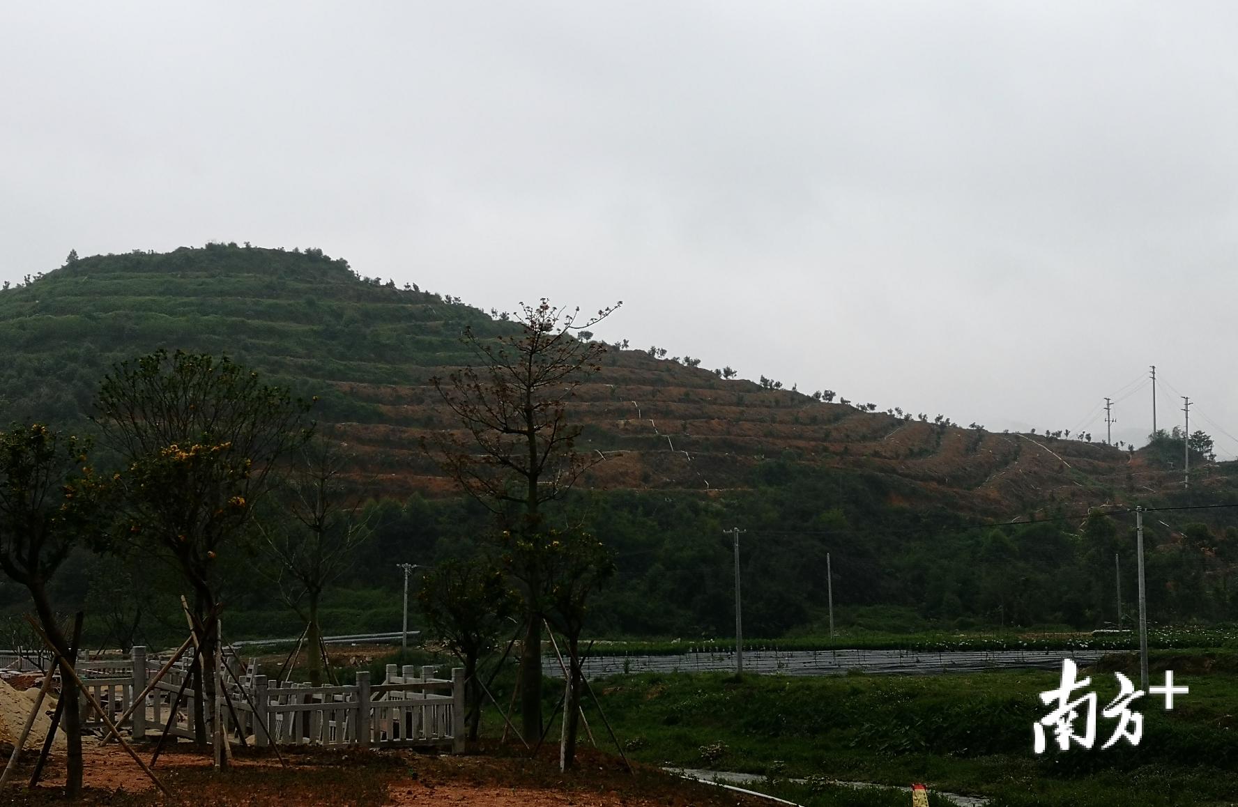 图说:远处的山坡上种上了夏威夷果树,近处的环村道路正在施工。大布村马上要大变样了。盛正挺 摄