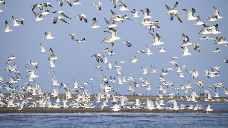 珠海数千海鸥戏金滩,震撼视频、图片戳这里