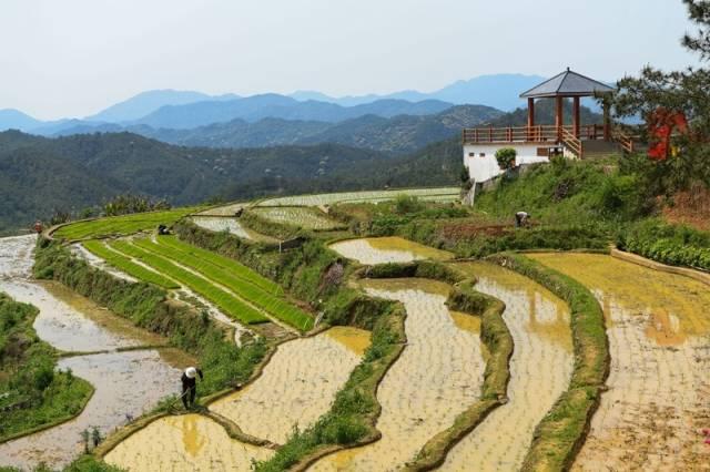 大东镇坪山梯田旅游景区,村民正在稻田里忙作。(南方日报记者 何森垚 摄)