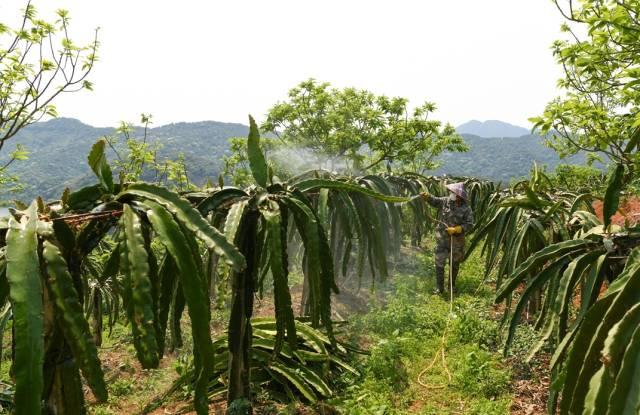 大东镇省定贫困村柘林村,村民通过发展火龙果种植增收致富。(南方日报记者 何森垚 摄)