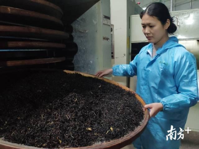 正值茶季,一批茶叶正在赶制。
