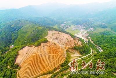 茶山成为撬动黄洞村茶叶产业的支点。南方日报记者 李细华 摄