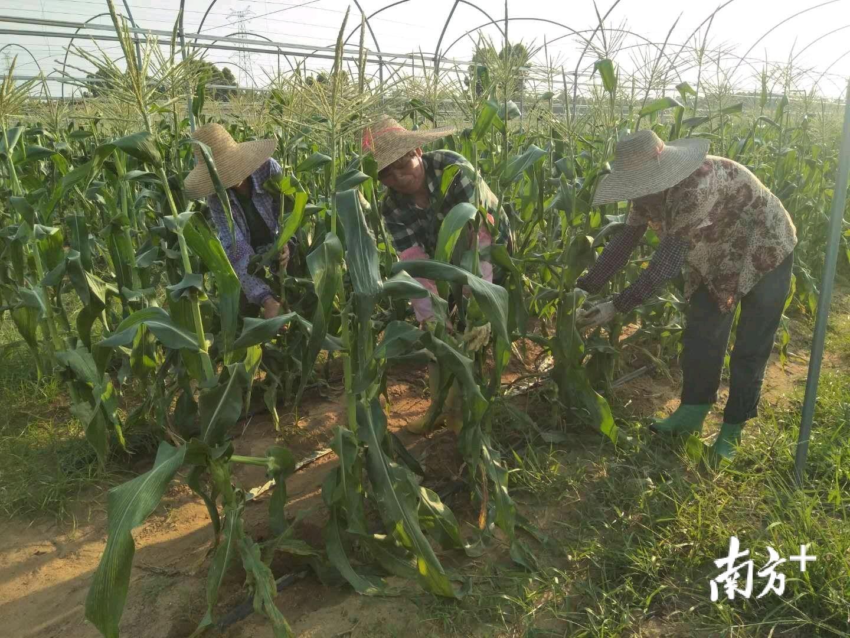 立夏时节,调文村的玉米熟了。