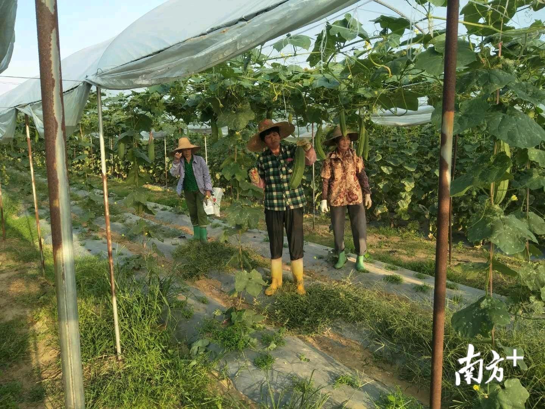 调文村的丝瓜真肥大。
