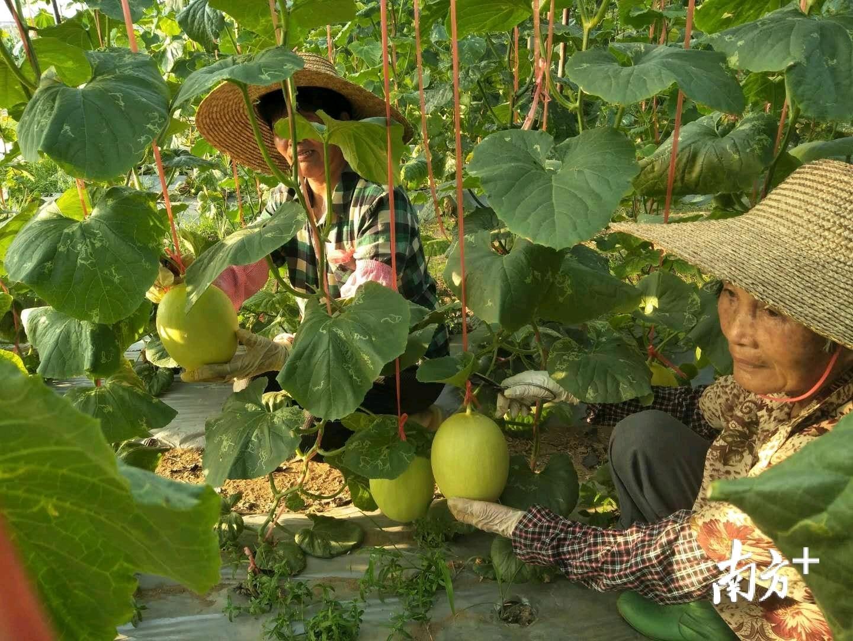 东海岛南池沟种养专业合作社调文基地的哈密瓜正飘香。