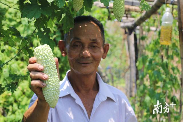 随着夏天的到来,南澳岛特有的农产品白珠苦瓜也面临收成。