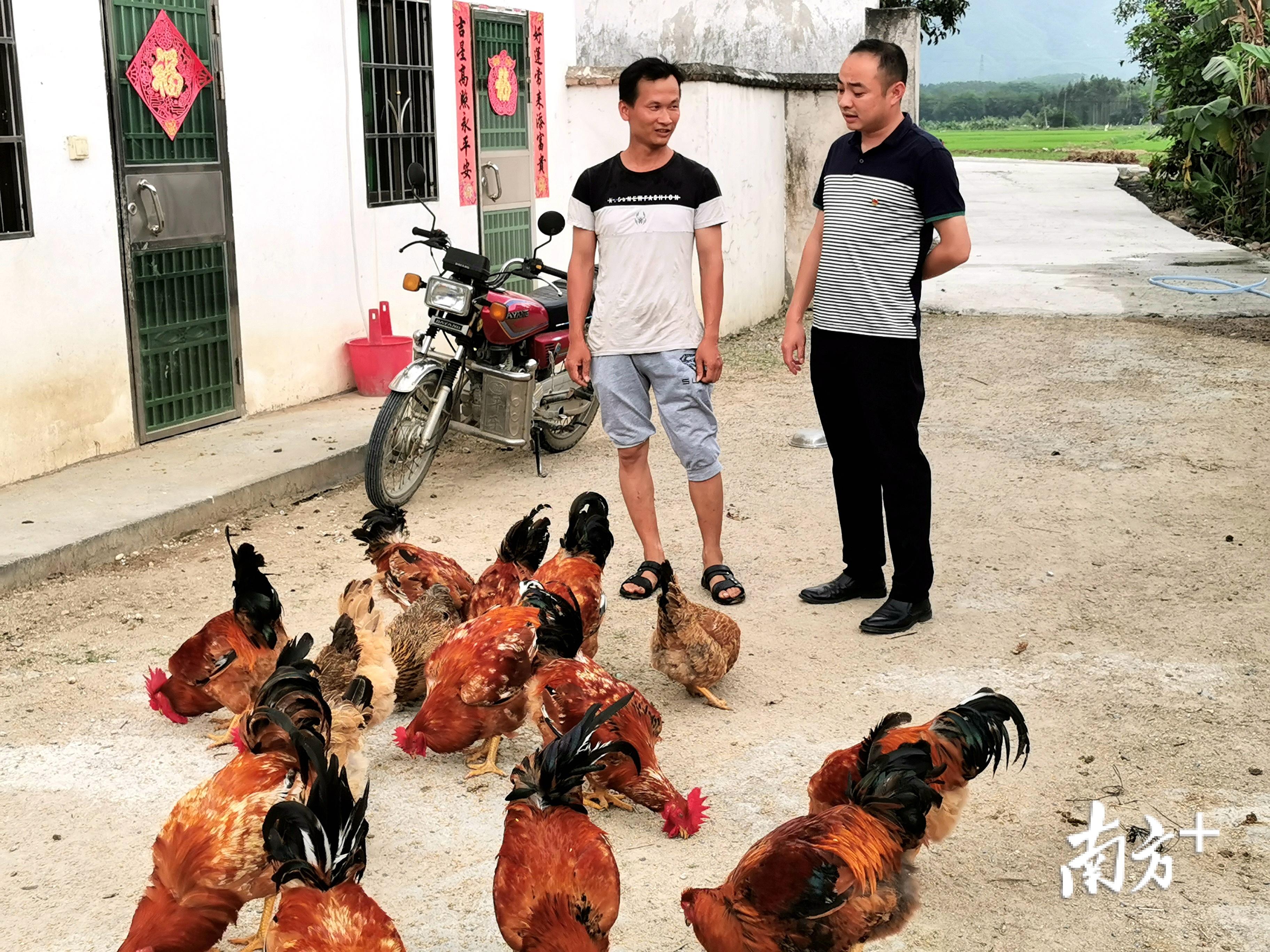 钟荣前家里养的鸡