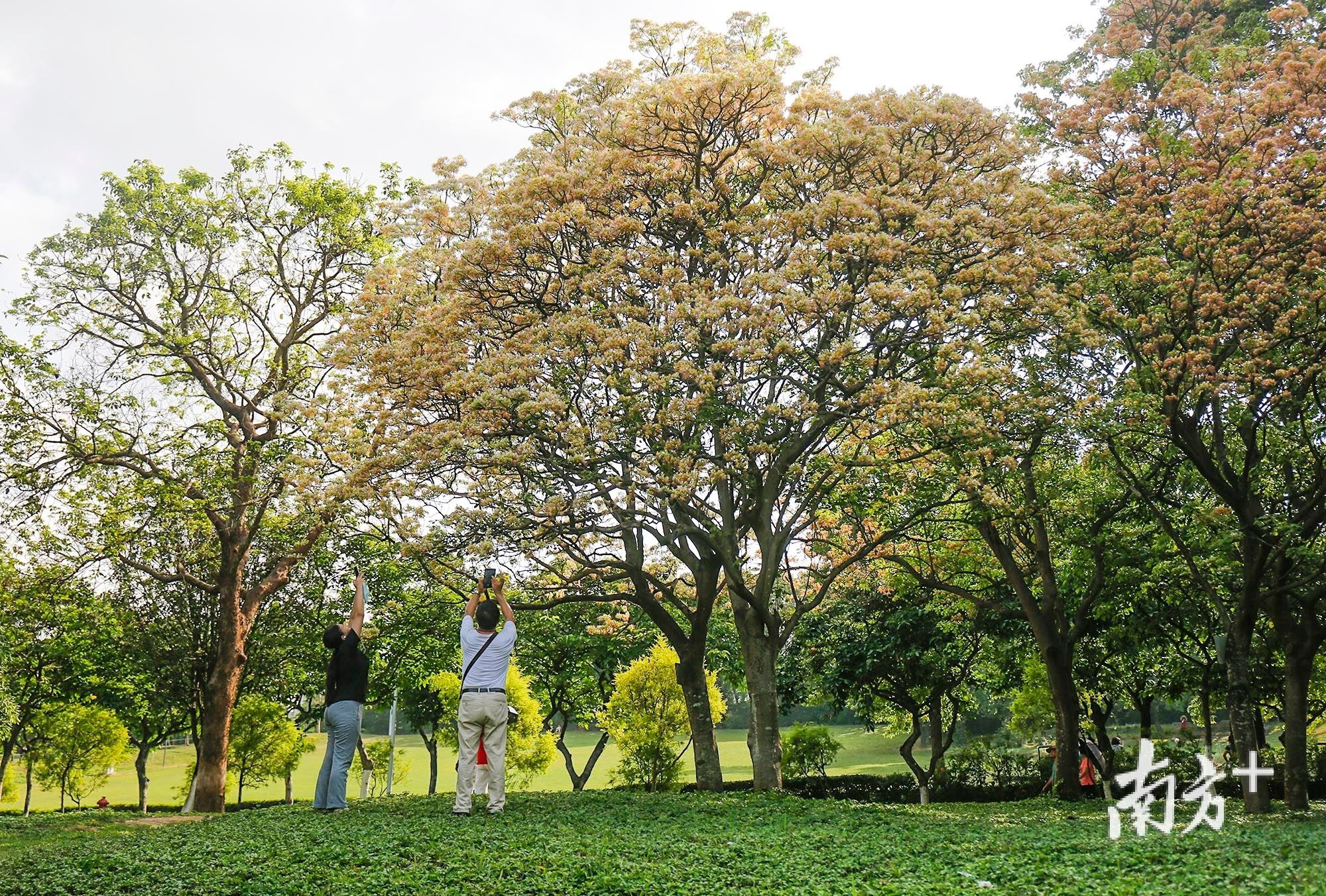 不少到公园游玩的市民来到鱼木树下拍照。
