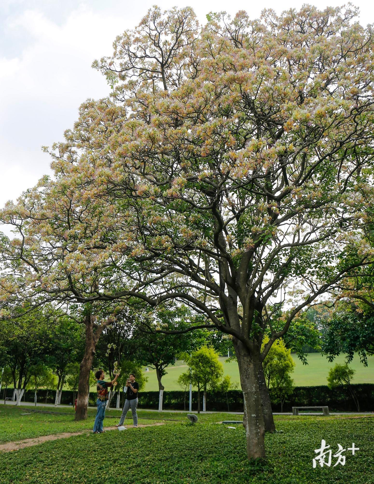 此时正值鱼木树的盛花期,黄色花朵鲜艳无比。