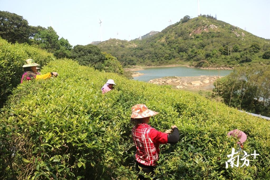 """南澳将以后花园""""宋茶""""特色产业基地为中心,创建农业生态观光特色产业园。张伟炜摄"""