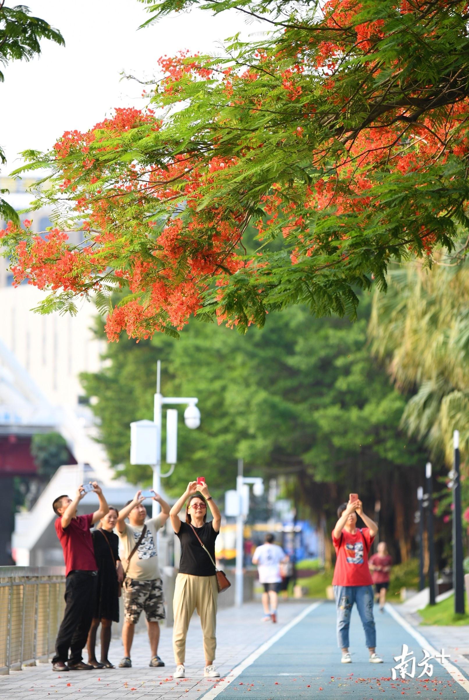 见到金凤花开,市民纷纷举起手机拍摄。杨兴乐摄