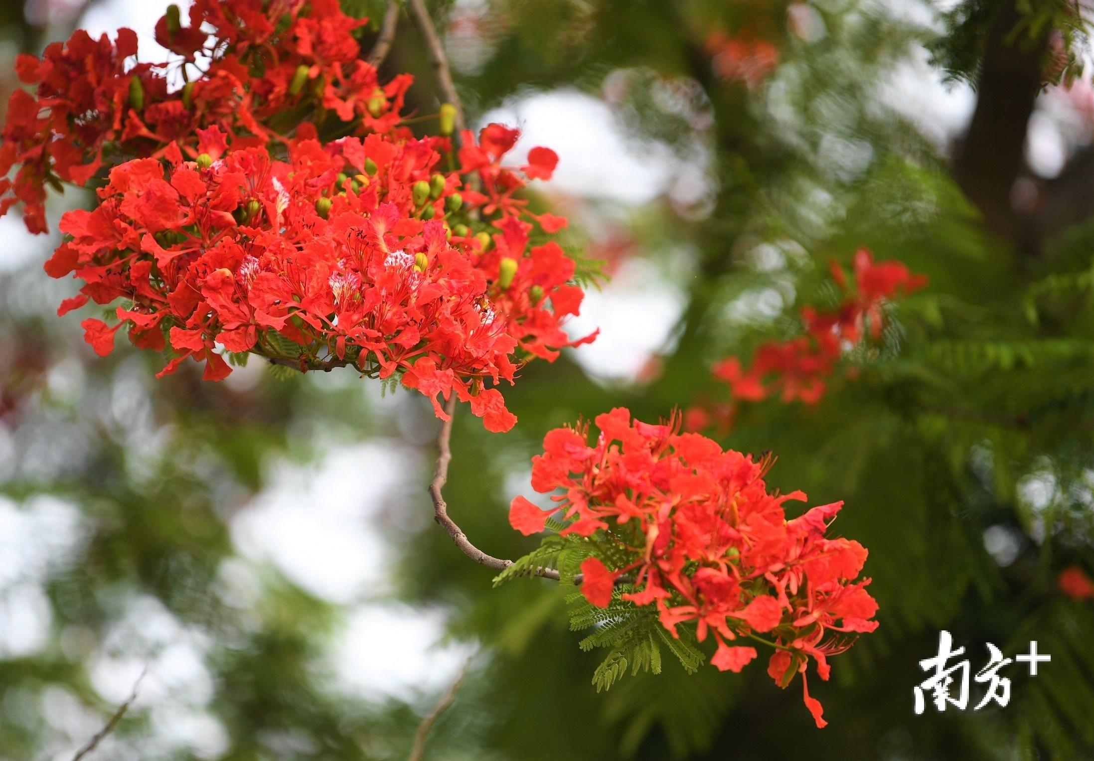 枝头的金凤花如火焰一般。杨兴乐摄