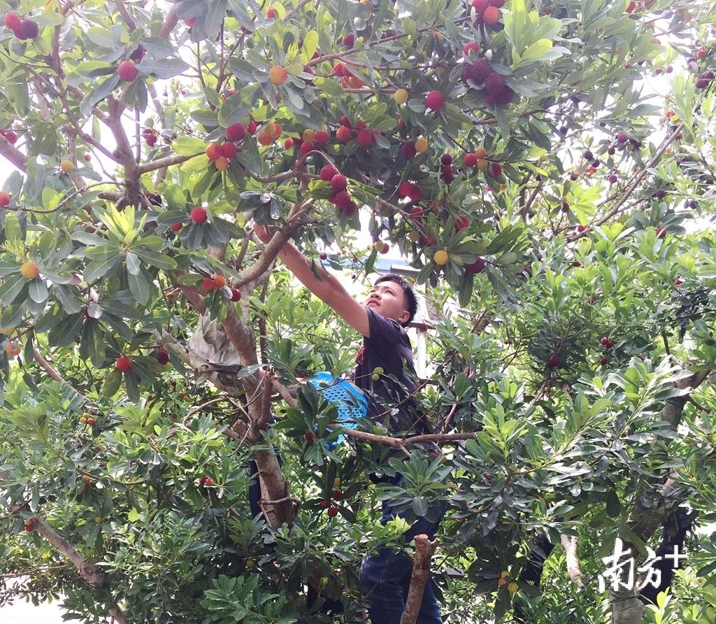 张洁鹏爬上树采摘杨梅。