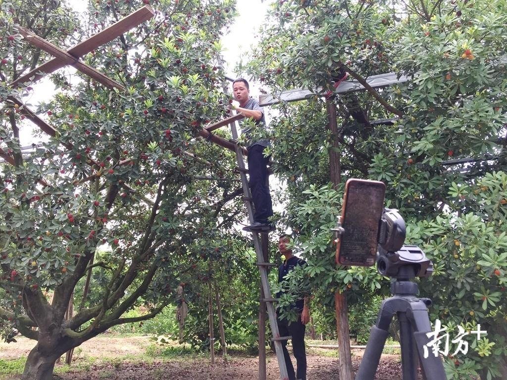 陈燕鹏走进东坑村梅园做直播。