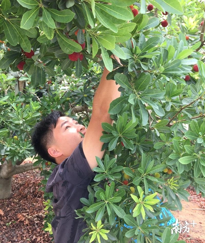 张洁鹏正在采摘成熟的杨梅。