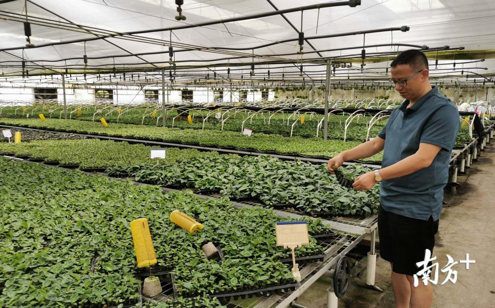 阳特园艺每年生产绿植花卉植物种苗近4000多万株、盆苗1000多万盆。黄逸豪 摄