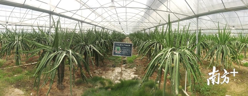 谢燕强种植的火龙果园一角。