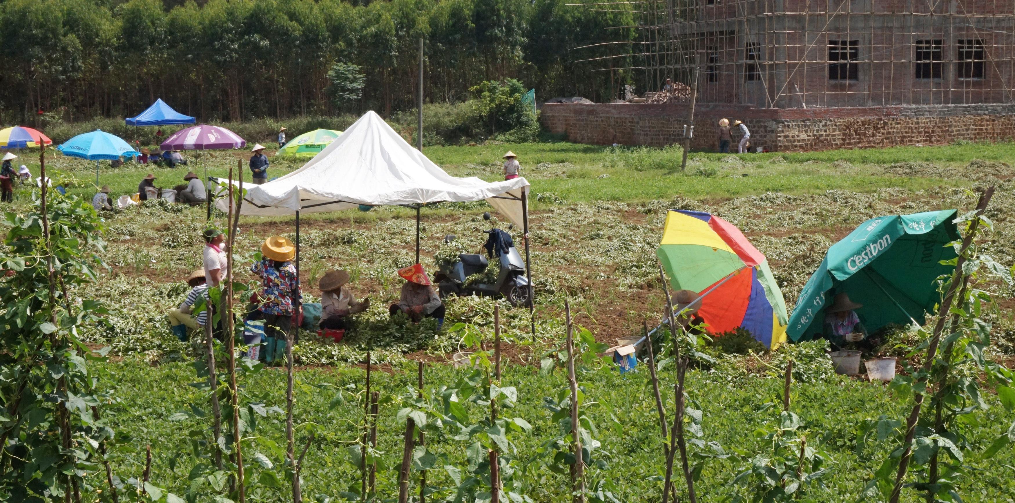 福平公园后方,村民在田地里耕作。吴文静 摄