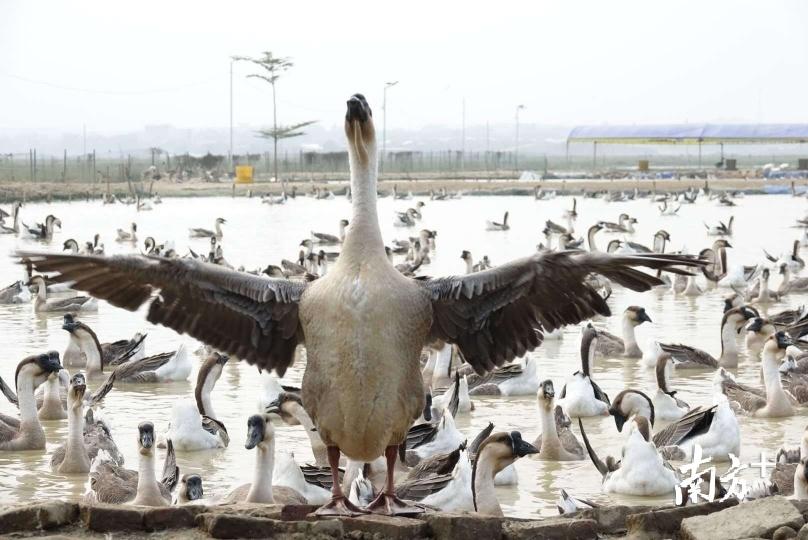 """基地主要养殖""""大白鲨""""、黑棕鹅等品种的肉鹅。资料图片"""
