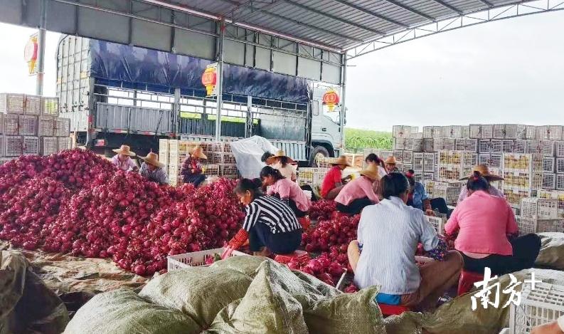 工人们在打包火龙果。吴卫兵 供图