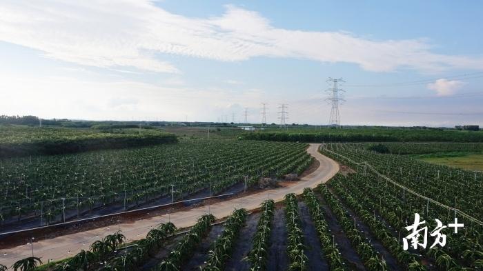 遂溪火龙果现代农业产业园内景色优美。吴文静 摄