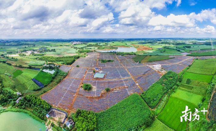 从上空鸟瞰遂溪火龙果现代农业产业园,宛如镶嵌绿毯的红宝石。受访者供图