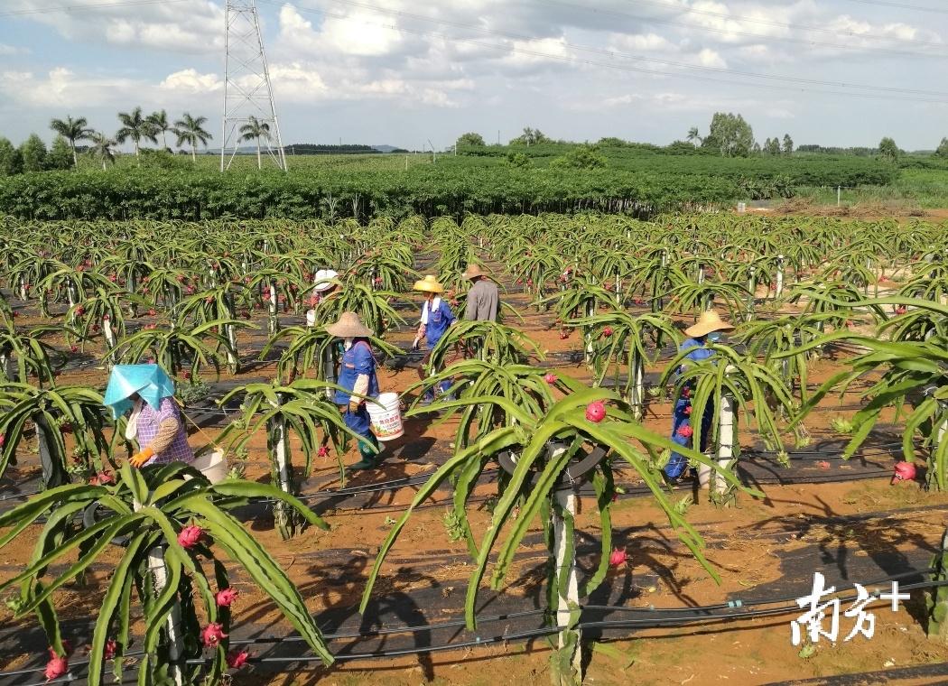 火龙果成熟季,农民们忙着采摘火龙果。吴卫兵 供图
