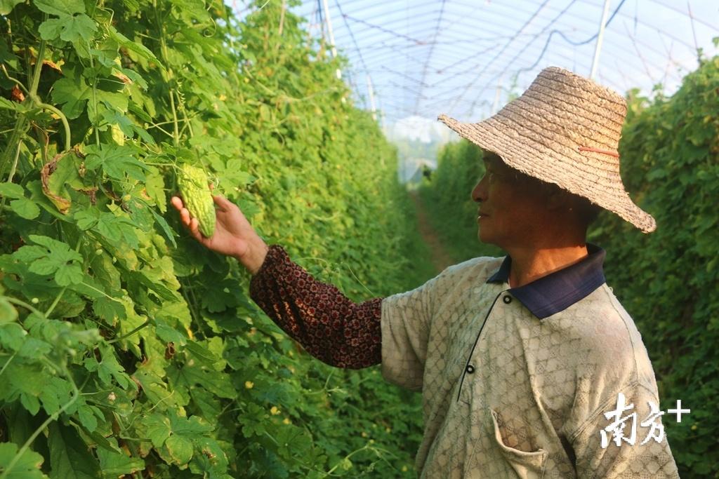 林华荣自2017年起就在下北农业种植示范基地工作,不仅每月能领到工资,年底还可获得分红。